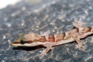 https://www.biosfera1.com/wp-content/uploads/2019/06/Cap-Vert-1997_Ph.Geniez_1213_Ilheu-de-Raso-ruine-16611-24591_1997.07.31_Hemidactylus-bouvieri-razoensis-femelle-BMNH-2005.1667-300x200.jpg