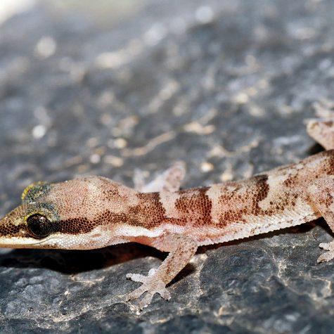 Cap-Vert 1997_Ph.Geniez_1213_Ilheu de Raso, ruine 16,611 -24,591_1997.07.31_Hemidactylus bouvieri razoensis, femelle BMNH 2005.1667
