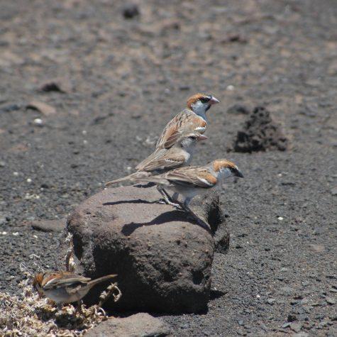Pardal-de-terra passer Iagoensis (1)