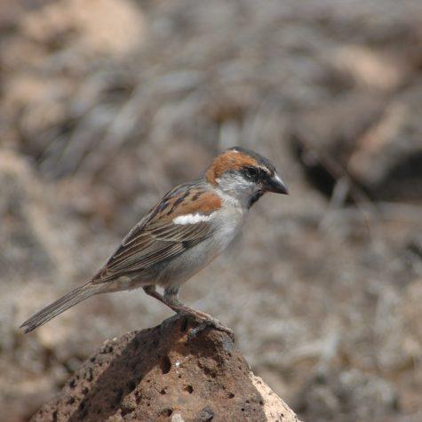 Pardal-de-terra passer Iagoensis (2)
